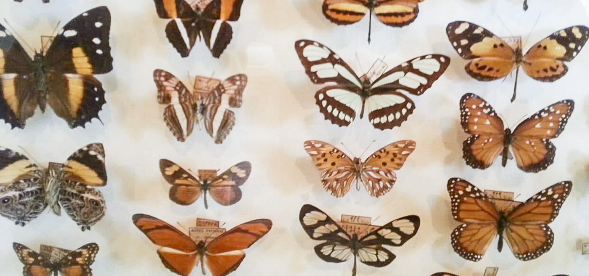 Butterfly Collection, Museu Nacional do Rio de Janeiro Photo by Maurobio. Licensed under the Creative Commons Attribution-Share Alike 4.0 International